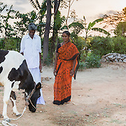 CAPTION: Basavanna can see only partially with one eye. He has taken a dairy-related livelihoods training course arranged by Mobility India, specially targeted at people with disabilities. This included several aspects of caring for cows that were unfamiliar to him before. LOCATION: Mudnakudu (village), Haradanahalli (hobli), Chamrajnagar (district), Karnataka (state), India. INDIVIDUAL(S) PHOTOGRAPHED: Basavanna (left) and Gowramma (right).