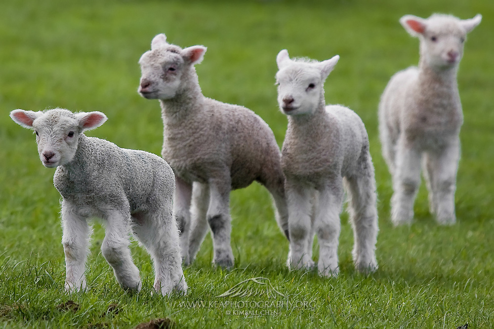Baby Lambs, Southland, New Zealand