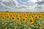 Beautiful fields of sunflowers