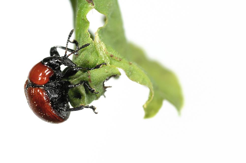 Oak Leaf Roller Beetle (Attelabus nitens) Göhrde, Germany (sequence 5/9) | Das Eichenblattroller-Weibchen(Attelabus nitens) rollt unter EInsatz aller Beine und der Mundwerkzeuge das Blatt sorgsam von der Spitze aus nach oben auf.