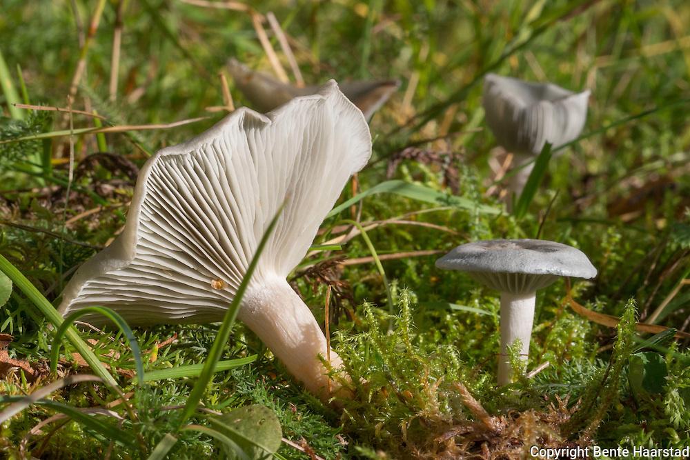 Grønn anistraktsopp, Clitocybe odora, The aniseed funnel cap, lysegrønn sopp, Tricholomataceae, matsopp, spiselig sopp, edible mushrooms. Sterk lukt av anis.