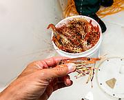 WA11837-00...WASHINGTON - Bucket of shrimp pulled from yhe Puget Sound.