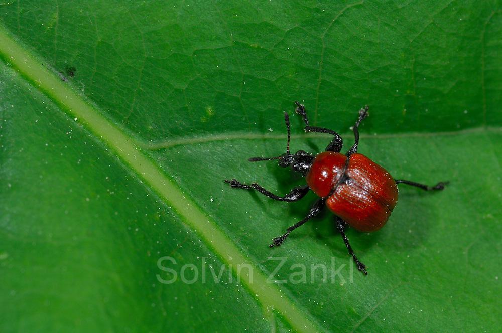 Oak Leaf Roller Beetle (Attelabus nitens) Göhrde, Germany |  Das Weibchen des Eichenblattrollers (Attelabus nitens) beißt zunächst die Hauptader des Eichenblattes an, damit es welk wird.
