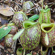 A group of ground pitcher plants, Nepenthes ampullaria, growing on the forest floor