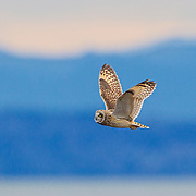 A Short-Eared Owl (Asio flammeus) flies over Boundary Bay in British Columbia, Canada. The Short-Eared Owl was one of the widest distributions of any bird, found on all continents except Australia and Antarctica.