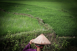 A woman walks through a rice field in a valley of Mung To Commune, Son La Province, Vietnam, Southeast Asia