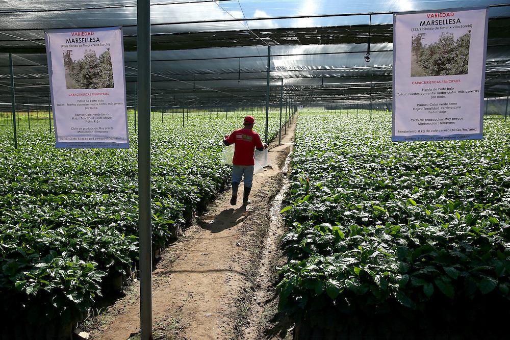 Young trees, of the marsellesa variety, are shown in the Jaltenango coffee tree nursery in Chiapas, Mexico. (Joshua Trujillo, Starbucks)