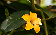 """Pua keni keni (Fagraea berteriana) translates to """"10 cent flower"""" from hawaiian . The flowers of this tree are used in lei making due to their alluring fragrance."""