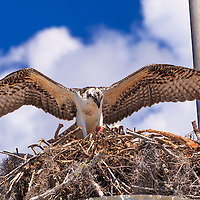 A pair of Ospreys (Pandion haliaetus), one of whom is eating a piece of fish, in their nest in the Flamingo section of Everglades National Park, Florida.