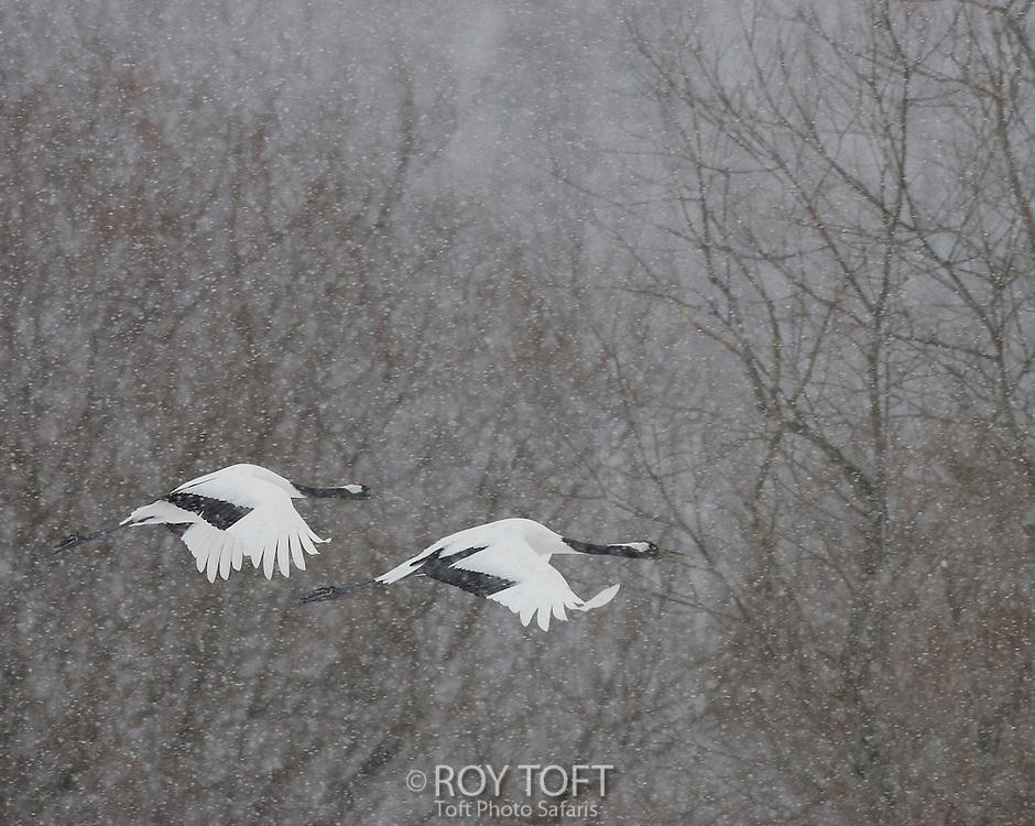 Pair endangered red-crowned cranes (Grus japonensis) flying in snow, Hokkaido Island, Japan.