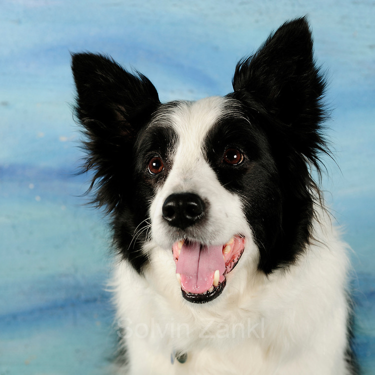 Merlin (8).Border Collie.Wenke