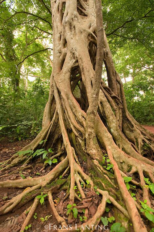 Strangler fig tree, Ficus sp., Boabeng-Fiema Monkey Sanctuary, Ghana