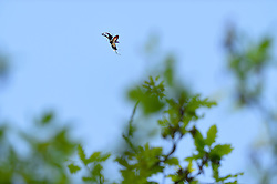 Male Stag Beetle (Lucanus cervus) flying around oak tree in search of a female.   Ein männlicher Hirschkäfer (Lucanus cervus) manövriert auf der Suche nach einem Weibchen um eine Eiche. Elbtalauen, Deutschland
