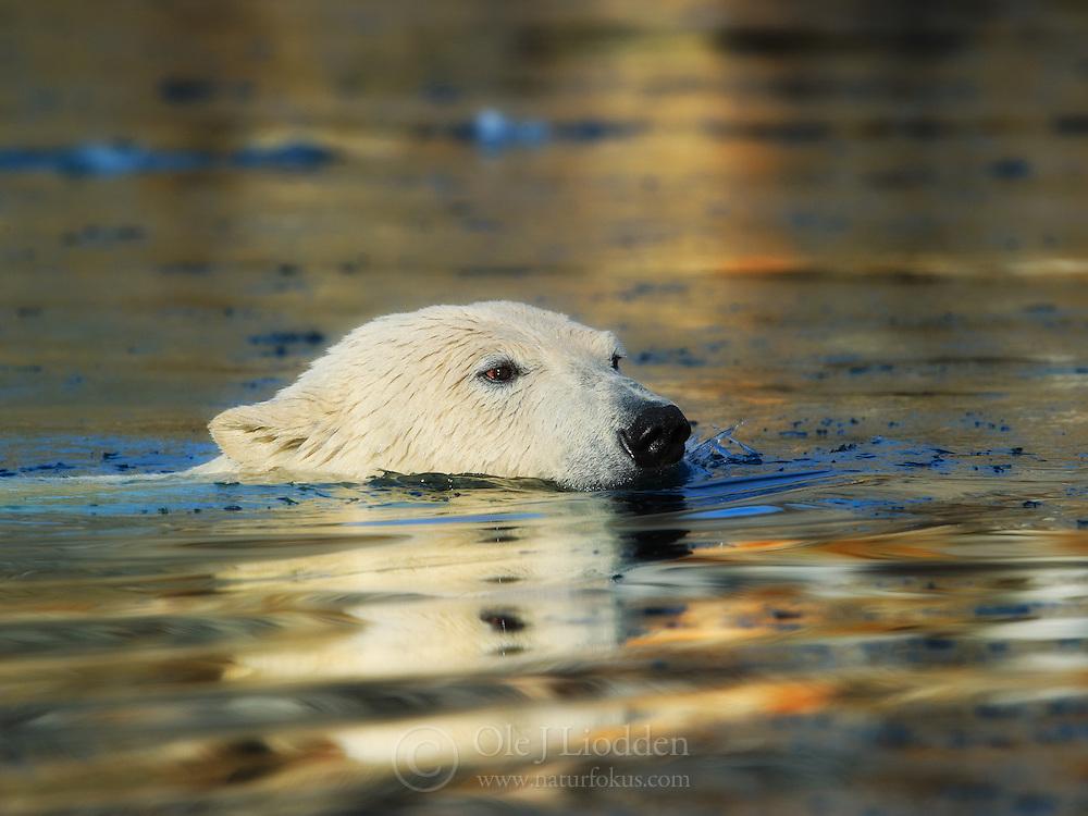 Polar bear (Ursus maritimus) swimming in almost frozen ocean, Spitsbergen, Svalbard