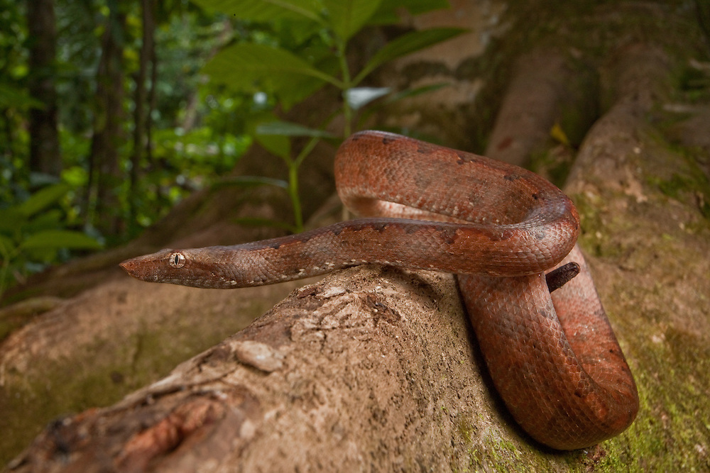 Solomon Islands Ground Boa, Candoia carinata paulsoni, on butress root on Tetapare