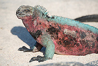 Colorful male Espanola Marine Iguana at Punta Suarez on Espanola in the Galapagos Island, Ecuador.