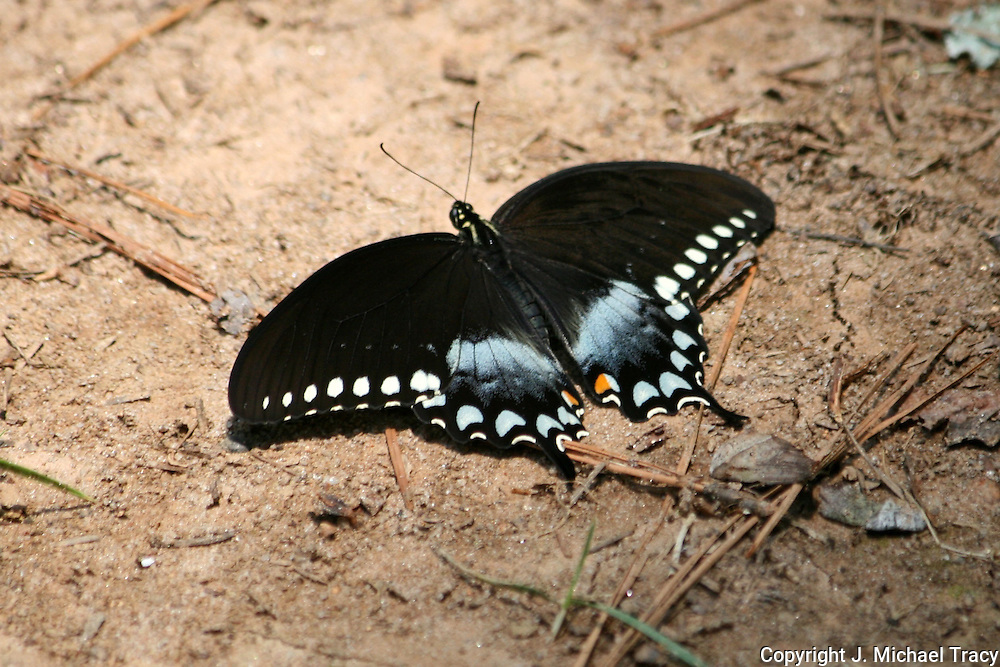 A colorful Black Swallowtail Butterfly opening his wings to the sun while resting on the ground.