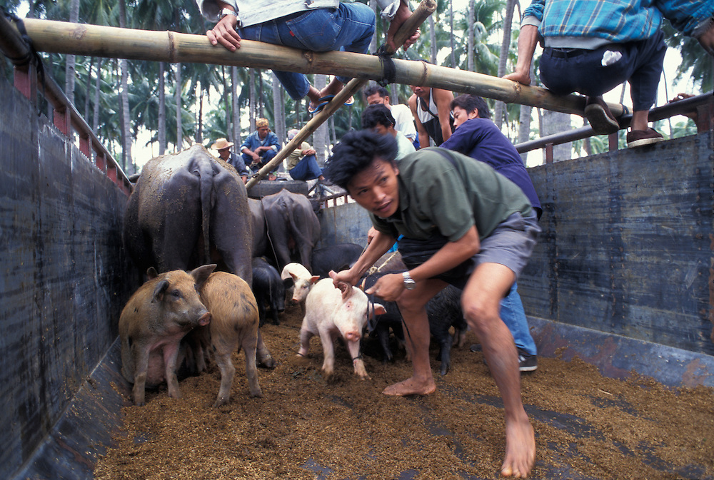 Philippines, Negros Island, Men unload pigs and livestock from truck at market at Malatapay south of Dumaguete City