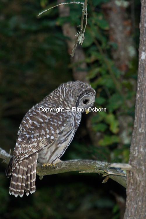 Barred Owl, fledging