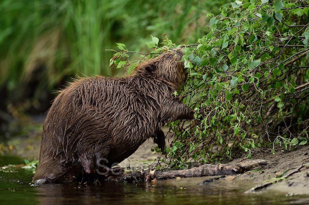 Beaver (Castor fiber) in the Peene valley