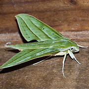 A sphinx moth (or hawk moth, Sphingidae family, order Lepidoptera) is attracted to night lights in Bellavista Cloud Forest Reserve, near Quito, Ecuador, South America. Sphingidae is best represented in the tropics but species inhabit every region. Sphingidae are moderate to large in size and are distinguished among moths for their rapid, sustained flying ability, assisted by narrow wings and streamlined abdomen. Some hawk moths, like the hummingbird hawk moth, hover in midair while they feed on nectar from flowers and are sometimes mistaken for hummingbirds. This hovering capability has evolved only three times in nectar feeders: in hummingbirds, certain bats, and these sphingids. Sphingids can swing hover (move rapidly from side to side while hovering). Some of the sphingids are some of the fastest flying insects, capable of flying at over 50 km/h (30 miles per hour). They have a wingspan of 35-150 mm.