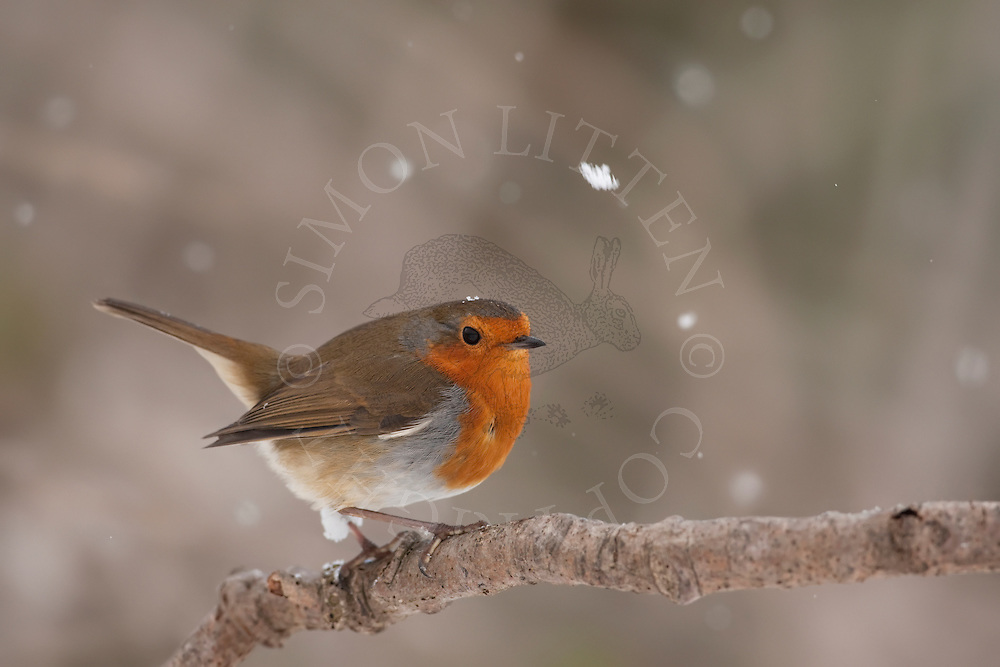 Robin (Erithacus Rubecula) perched on branch in falling snow, winter UK