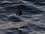 Oceanites oceanicus (Wilson's storm petrel)