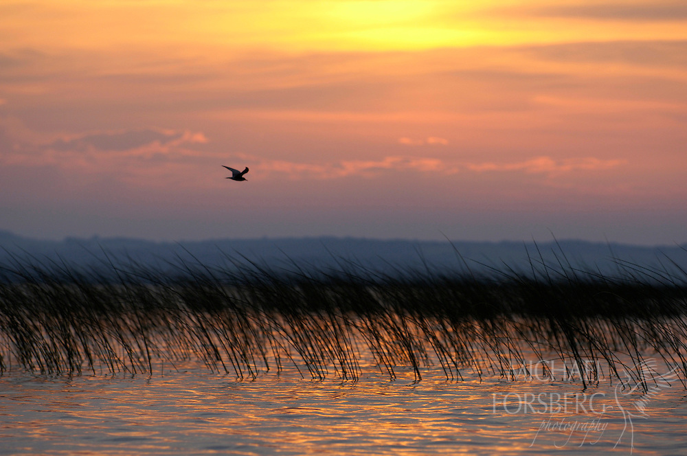"""A Black tern in flight over bullrush on Lake Christina at sunrise.  Lake Christina is classified as a """"shallow prairie lake"""" and a successful restoration project where water clarity and healthy ecosystem has been restored.  Douglas County, Minnesota."""