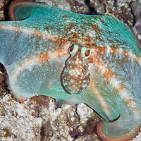 Caribbean Reef Octopus (Octopus briareus) at night.