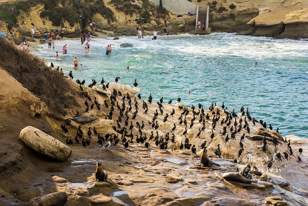 Cormorants, Sea Lions, and swimmers at La Jolla Cove, San Diego, California, USA