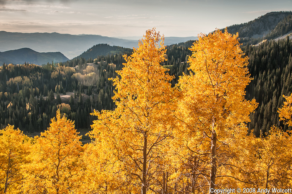 Fall Aspen at Guardsman's Pass overlooking Heber Valley, Utah