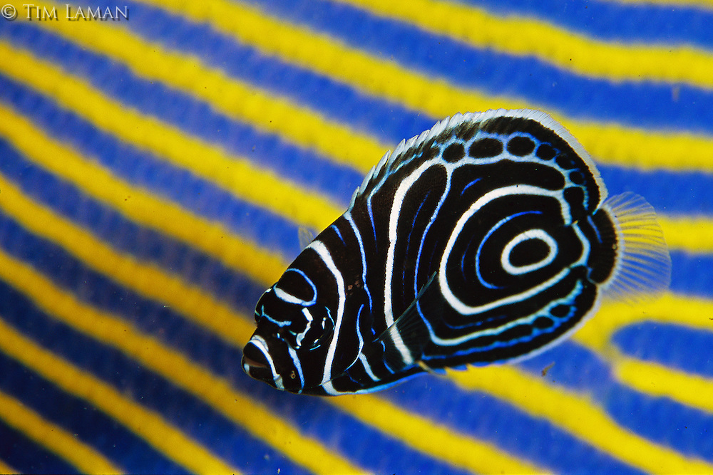 An Emperor Angelfish with juvenile color pattern swims in front of a sleeping adult of the same species, with the adult color pattern.  During a night dive in Bali, Indonesia (Pomacanthus imperator)