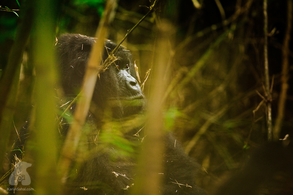 Female gorilla in a dense bamboo forest, Volcanoes National Park, Rwanda.