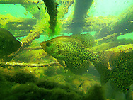 Black Crappie-Inside a fish crib<br />