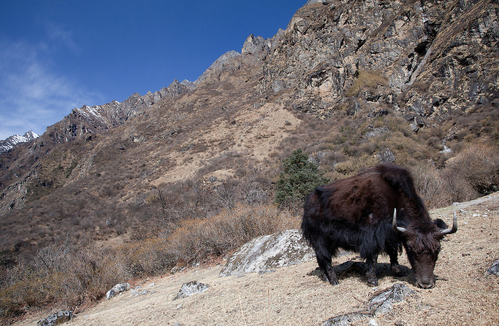 Yak, Bos grunniens, grazing next to a rocky cliff, Langtang Valley, Nepal