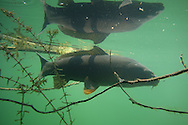 Common Carp<br /> <br /> Todd Pearsons/Engbretson Underwater Photography