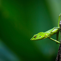 Green crested lizard, Bronchocela cristatella, in the forests of Puerto Princesa municipality, Palawan, Philippines