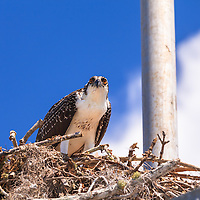 An Osprey (Pandion haliaetus) eats a piece of fish in its nest in the Flamingo section of Everglades National Park, Florida.