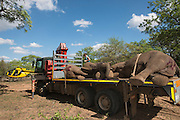 Tranquilized elephants being loaded by crane<br /> &amp; capture team<br /> (Loxodonta africana)<br /> Elephants darted from helicopter to be relocated.<br /> Zimbabwe