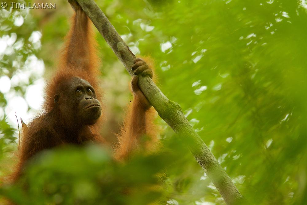 Bornean Orangutan - &quot;wurmbii&quot; subspecies<br />(Pongo pygmaeus wurmbii)<br /><br />Cabang Panti Research Station<br />Gunung Palung National Park<br />West Kalimantan, Indonesia<br />Borneo Island<br /><br /><br />Young female = Walimah