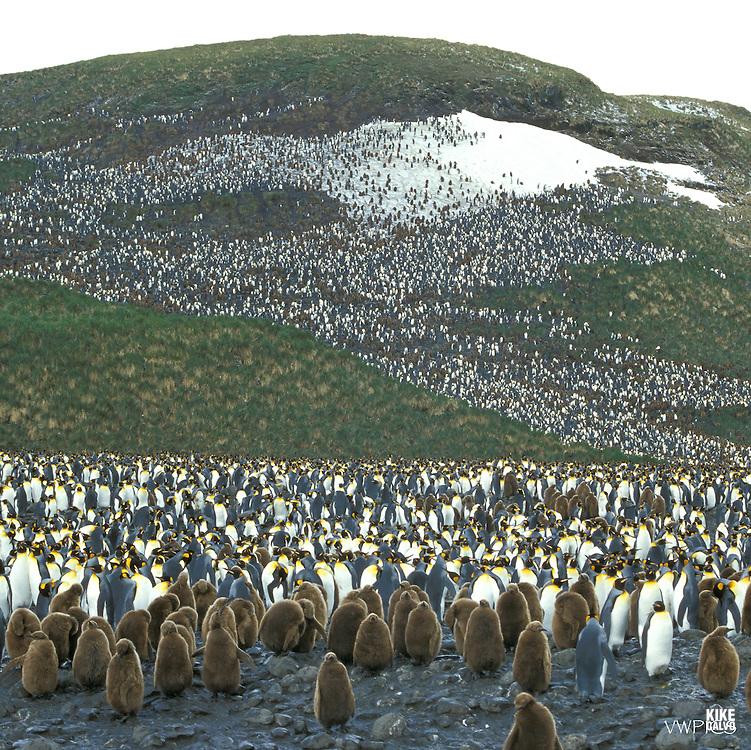 King penguin (Aptenodytes patagonicus), King penguins & yearling chicks, chick, Salisbury Plain, South Georgia, Antarctic region, K?nigspinguin, K?nigspinguine mit Jungen, S¸ggeorgien, Antarktische Region.