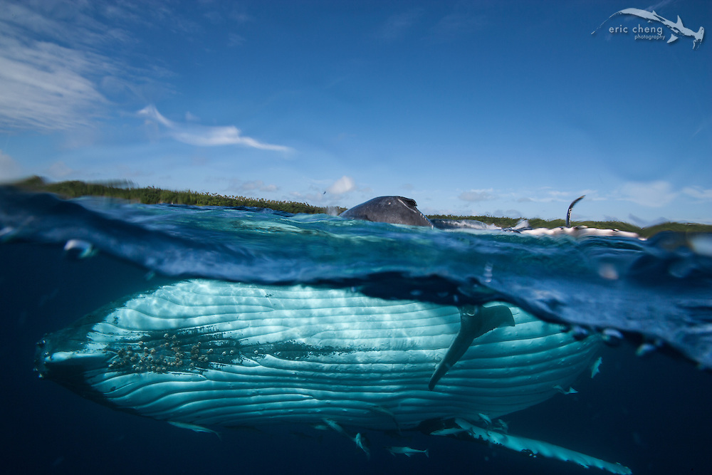 A large mother humpback whale (Megaptera novaeangliae) holds up her young calf to help it breathe. Vava'u, Tonga.