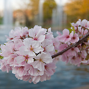 Cherry blossoms bloom in front of a pond with fountains.