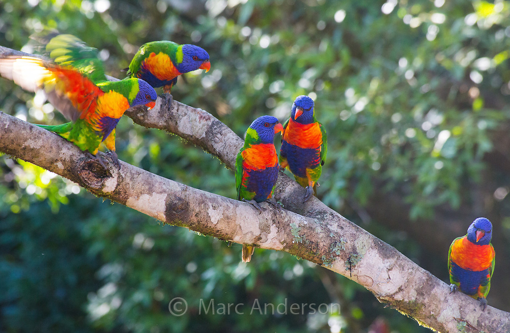 Rainbow Lorikeets(Trichoglossus haematodus) in the wild, Queensland, Australia