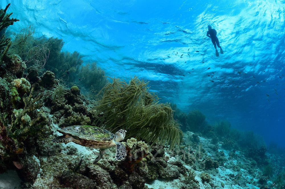 Sandra Striegel (Meeresschildkrötenforscherin, GEO Stipendium) sucht schnorchelnd Meeresschildkröten im Riff. Hier wurde eine Karettschildkröte (Eretmochelys imbricata) entdeckt.