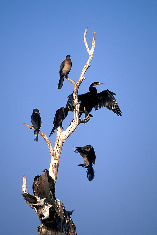 Botswana, Chobe National Park, Reed Cormorant (Phalacrocorax africanus) and African Darter (Anhinga rufa) along river