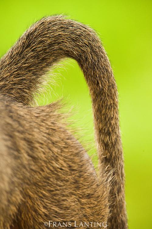 Baboon tail, Papio cynocephalus, Mole National Park, Ghana