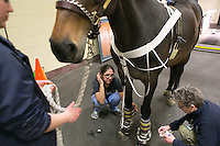 04/03/2015 - Cummings School of Veterinary Medicine student Brenna Pugliese (L) and Geralyn Schad, Senior Veterinary Technician and Project Manager, help fit, Willow a Holsteiner Mare, with prototype protective leg wear and monitors so she can be recorded on a treadmill on Friday, April 3, 2015 in the Hospital for Large Animals. The leg wear is being developed by Hosso Inc. in conjunction with Cummings School faculty and students. (Matthew Healey for Tufts University)