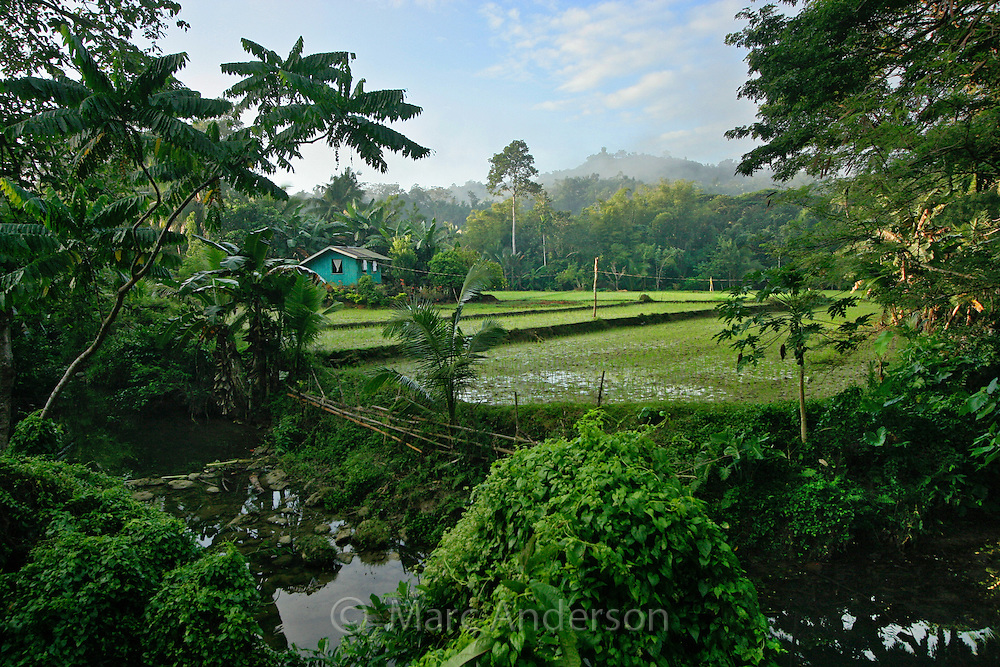 A small blue farmhouse surrounded by lush forest & a rice field, Bohol, Philippines