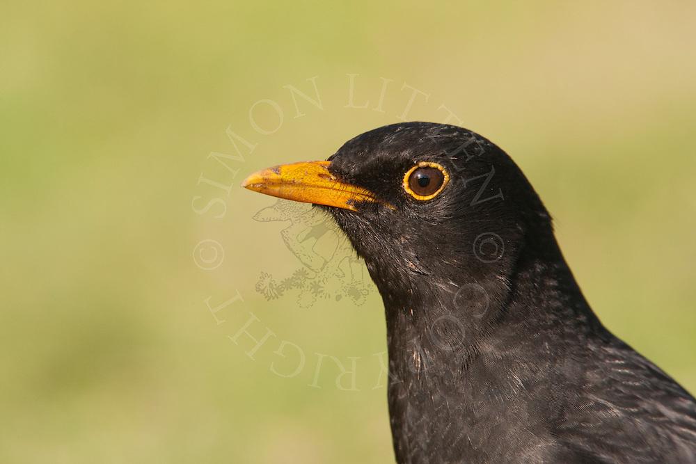 European Blackbird (Turdus merula) adult male, UK.